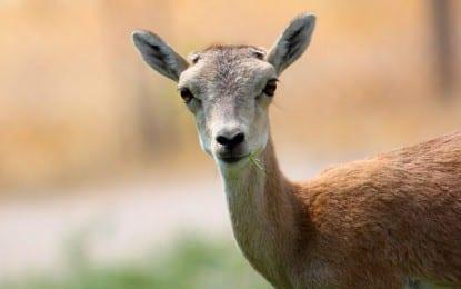Orman ve Su İşleri Bakanlığı'ndan Anadolu Yaban Koyunlarına Yeni Yaşam Alanı
