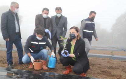 Süper meyve Aronya, üreten belediye İzmit'te toprakla buluştu
