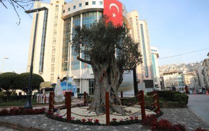 600 yıllık zeytin ağacı İzmit'in yeni sembollerinden biri olacak