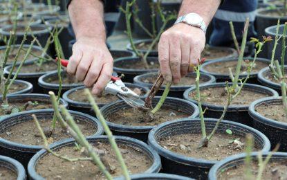 İzmit Belediyesi seralarında çiçekler TASARRUF açıyor